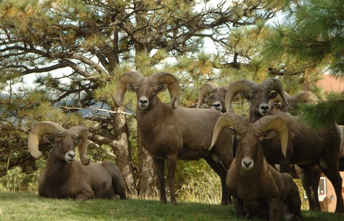 a group of rams